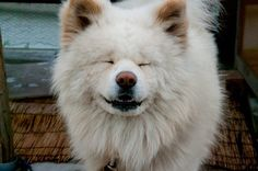 Wasao, the most famous Akita in Japan.