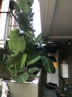 adopted these banana trees as infants now they're mature and lovely greeting each visitor to my beach door