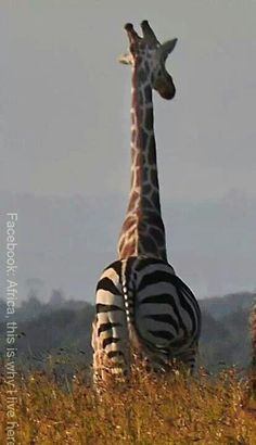 In Africa we don't need your fancy photoshop - just look at these funny images of animals to prove that. Funny Animal Images, Strongest Animal, Funny Giraffe, Perfect Timing, African Animals, Animals Of The World, Zebras, Beautiful Creatures, Safari