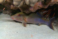 sleeping blue goatfish - night dive 4/20/12   by BarryFackler