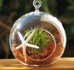 Hinterland Trading Starfish and Air Plant with Red Moss Hanging Glass Terrarium Kit Add it to your wishlist at yourwishfromme.com