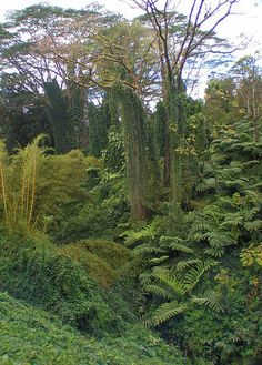 along the trail to Akaka Falls. North of Hilo Hi,