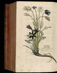 184927 Anemone pratensis L. / Fuchs, L., New Kreüterbuch, t. 512 (1543)