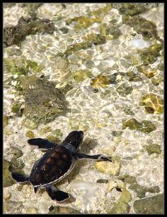 Baby green turtle on Heron Island, Great Barrier Reef_ Australia