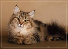 Siberian cat  (55 pictures) (11)