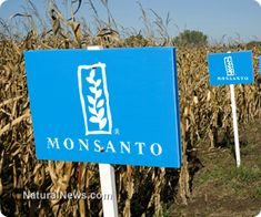 Monsanto gives up on GM crops in Europe, pursues patenting of conventional crops - Excellent but do we want them near our non GM seeds??