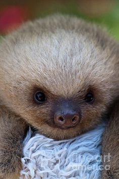 I can watch YouTube videos of baby sloths for hours! Thanks Carly!! Lol