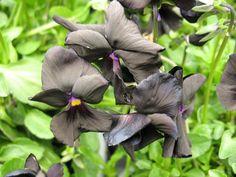 Viola Seeds Angel Black 500 Bulk Viola Seeds
