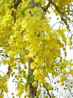 Wallpapers of Kerala's nature.: Vishu special:Pictures of Kanikkonna