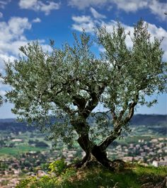 On ferait bien une sieste sous cet #arbre, avec une vue pareille… #olivier #nature #Provence