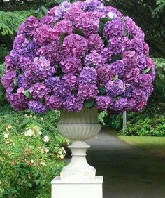 Hydrangea purple flowers in full bloom Hortensia Hydrangea, Hydrangea Garden, Garden Urns, Hydrangea Flower, Flower Pots, Container Plants, Container Gardening, Purple Flowers, Beautiful Flowers