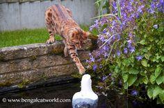 Bengals love water!