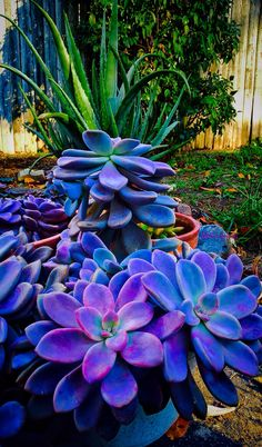 """shelovesplants: """"Fall sun setting 2016 🍁⛅️🌵 """" I doubt this one is actually real, but the colors are so dang pretty! Unusual Plants, Exotic Plants, Exotic Flowers, Amazing Flowers, Colorful Succulents, Cacti And Succulents, Planting Succulents, Planting Flowers, Succulent Gardening"""