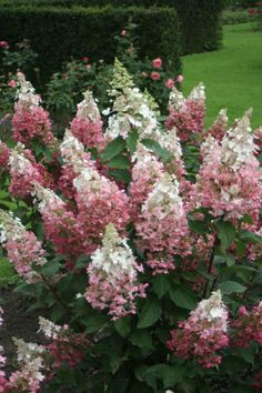 Pinky Winky® - Panicle Hydrangea - Hydrangea paniculata Pinky Winky® Hydrangea has spectacular two-t Hydrangea Paniculata Pinky Winky, Hortensia Hydrangea, Hydrangea Flower, Full Sun Hydrangea, Hydrangea Care, Limelight Hydrangea, Garden Shrubs, Flowering Shrubs, Gardening