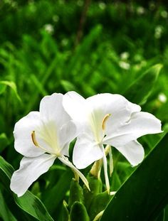 野薑花 Butterfly Ginger 拉丁學名:Hedychium coronation