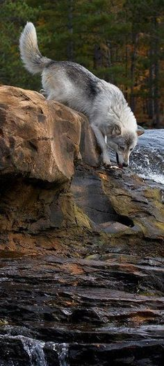 Wolf Images, Wolf Pictures, Beautiful Wolves, Most Beautiful Animals, Wild Animal Wallpaper, Animals And Pets, Cute Animals, Wolf Husky, Wild Creatures