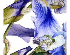 Iris - fine art - Large archival botanical print, 16 x11 or 13 x 19inches, watercolor print, botanical art