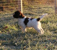 """Duckett Lagotto in """"Scent to Search"""" Training at Duckett Truffieres"""