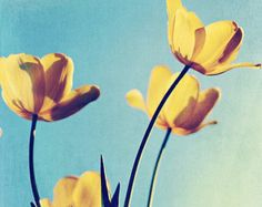 Flower Photo: 8x10 fine art photography turquoise blue, yellow tulips nature photography, still life, wall decor Spring flower, color photo