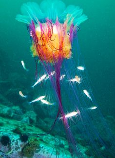 Colorful jellyfish with friendly fish