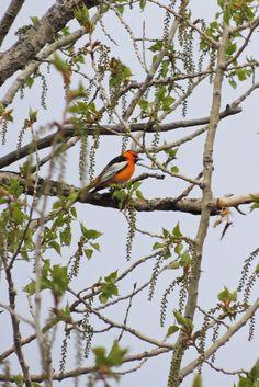 Bullock's Oriole ©Steve Frye. Wild Bird Center of Boulder, CO Saturday Morning Bird Walk in Boulder County – May 3, 2014.