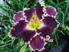 Daylily (Hemerocallis 'Larry's Obsession') uploaded by lyle627