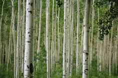 "aspen pictures | Aspen Trees"" By Daniel Schwen (Own work) [CC-BY-SA-3.0 (http ..."