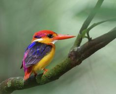 Oriental Dwarf Kingfisher, Ceyx erithaca, perched on a branch in Singapore.