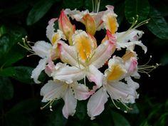 https://flic.kr/p/E9z7iK   Rhododendron   www.youtube.com/user/yewmchan/videos