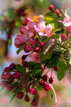 Spring blossoms on crab tree