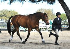 A lovely mover jogging for his ribbon in Ocala. Show Jumping Horses, Show Horses, Horse Girl, Horse Love, Pretty Horses, Beautiful Horses, Hunter Under Saddle, Equestrian Chic, English Riding