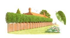 Ligustrum japonicum, tree privet, planted as raised screening for privacy.  This type of hedge is called a pleached hedge.