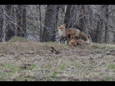 Renard roux qui allaite ses bébés/Female Red Fox nurses her babies Red Fox, Nurses, Mammals, North America, Wildlife, Facebook, Female, Twitter, Youtube