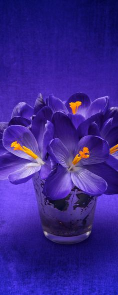 Purple Crocus.  Color combination.