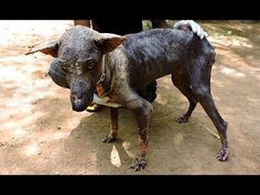 Starving Indian Street Dog Suffering From Severe Mange Makes Amazing Recovery. Wow, what a transformation with a little love. That first bath must have felt like heaven. Please adopt don't shop for all animals in need of a loving friend <3