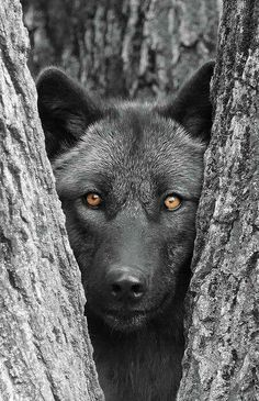 A black wolf with a haunting face and glowing eyes. Do you feel stress looking at this animal? Most animals help us to reduce stress in our lives. What do you feel when you look at this wolf? I want to smile Beautiful Creatures, Animals Beautiful, Tier Wolf, Wolf Craft, Animals And Pets, Cute Animals, Wild Animals, Baby Animals, Alpha Wolf