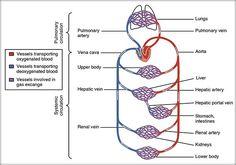 Circulaţia sângelui prin vase Circulaţia la mamifere este dublă (are două circuite) şi completă (sângele încărcat cu oxigen nu se amestecă cu sângele încărcat cu dioxid de carbon). Sângele se depărtează de inimă prin artere, trece în capilare şi se înapoiază la inimă prin ... Blood Vessels, Health, Fitness, Medicine, Biology, Anatomy, Gymnastics, Heart Vessels, Health Care