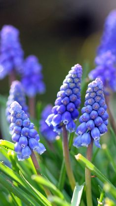 Free Download Spring Flower 2013 iPhone 5 HD Wallpapers
