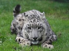 Leopardo de las nieves tumbado en la hierba