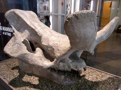 brontotherium -Worlds Largest Brontotherium Skull - Field Museum of Natural History - Chicago
