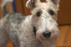 Puppy Dog Eyes by Witty Girl, via Flickr. Phyllis, a wire fox terrier.