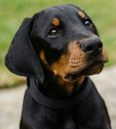The Doberman Pinscher is among the most popular breed of dogs in the world. Known for its intelligence and loyalty, the Pinscher is both a police- favorite Doberman Shepherd, Doberman Pinscher Puppy, Doberman Puppies, Baby Puppies, Dogs And Puppies, Doggies, Pincher Dog, Baby Animals, Cute Animals
