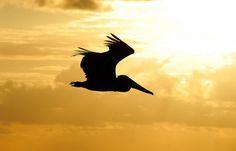 Pelican Silouhette