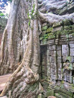 Giant fig tree envelopes wall! by carolhammer8