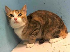 TO BE DESTROYED 12/15/13 Manhattan Center  GINGER. My Animal ID # is A0986289. I am a female torbie and white domestic sh mix. The shelter thinks I am about 1 YEAR 2 MONTHS old.  I came in the shelter as a OWNER SUR on 11/30/2013 from NY 10452, owner surrender reason stated was ALLERGIES. VERY SWEET LIKES TO PLAY, LOVES TO BE BRUSHED. LOVES WATER LIKES TO JUMP IN THE SHOWER…