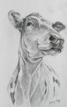 Pencil drawing of Ayrshire steer, Jethro by Lesley Legg