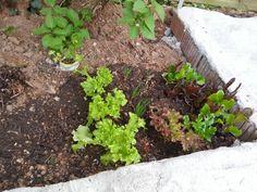 25.04.2013,  Salat/Zwiebel Beet unter dem Flieder.