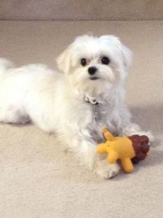 Maltese Puppy By Marjorie Maltese Dogs Maltipoo Dog Most