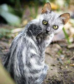 "The ""Sparse Fur"" mutation eliminates all but the guard hairs, which tend to be short. While the sparse-haired ""Lykoi"" pedigreed cat must have a grizzled grey colour, the sparse hair mutation is independent of colour and has appeared in a number of cats in the 2000s."