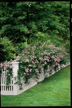 Backyard landscaping along fence climbing roses 38 new ideas Backyard landscaping along fence climbi Landscaping Along Fence, Backyard Landscaping, Florida Gardening, White Picket Fence, Picket Fence Garden, Climbing Roses, Climbing Plants For Fences, Vines For Fences, Vine Fence